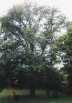 Huntingdon Elm